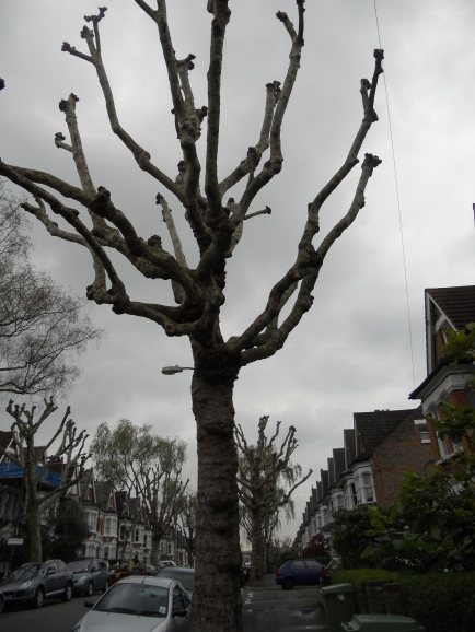 The odd-shaped trees of Herne Hill